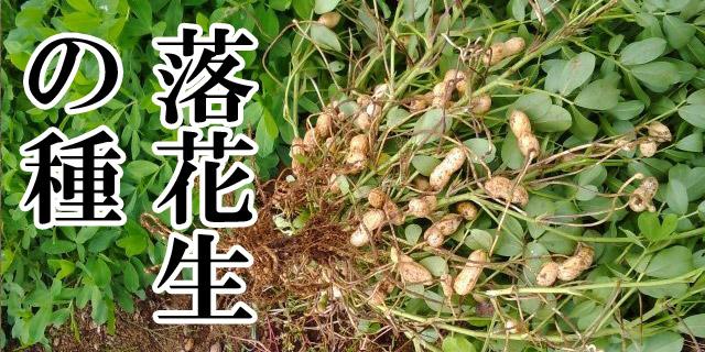 落花生の種、栽培用種子